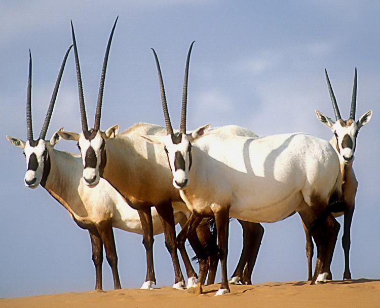 Foto Kafshesh - Faqe 2 Arabian_oryx_david_mallon