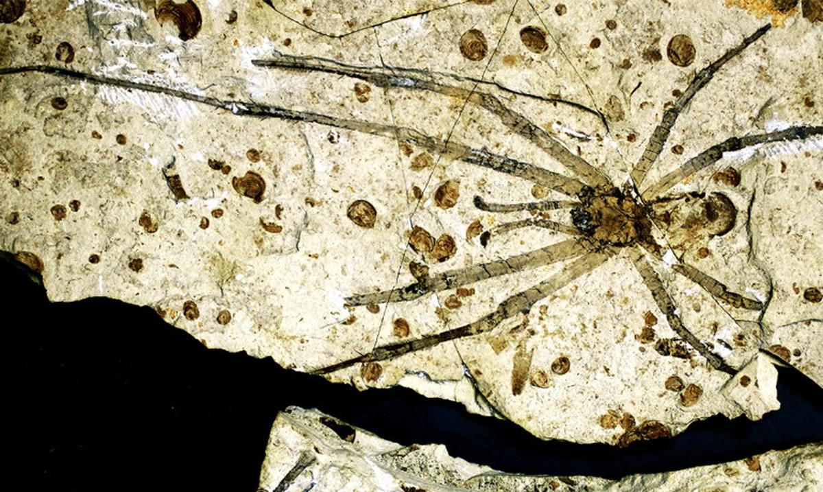 inoiz-aurkitu-duten-armiarma-fosil-handiena